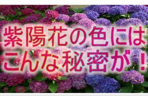 紫陽花アイキャッチ